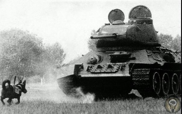 Во время Великой Отечественной войны в советской армии готовили собак-смертников, предназначенных для уничтожения вражеских танков. Голодных собак приучали к тому, что еду можно найти под