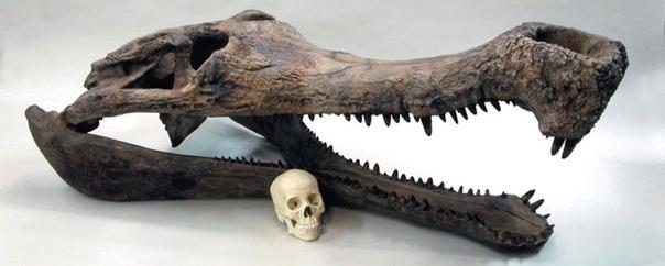 Череп аллигатора и череп человека в сравнении