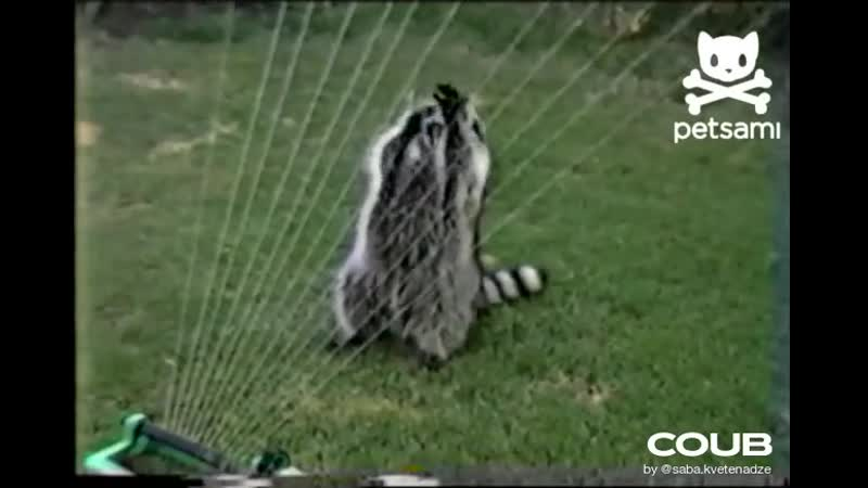 Raccoon plays sprinkler harp