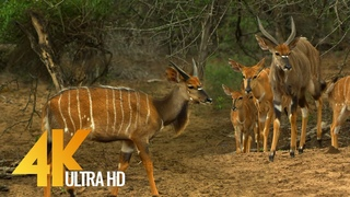 4K African Antelopes - Wild Animals Of Africa in 10 bit color - Part #2