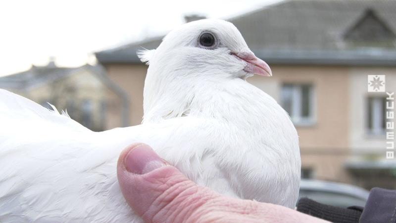 Дмитрий Морозов из Витебска разводит породистых голубей (23.01.2020)