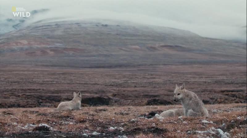 Королевство белого волка Последняя охота