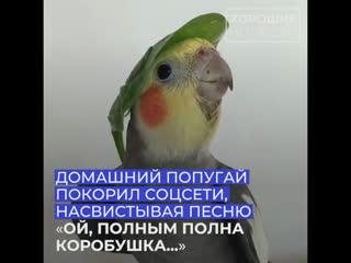 Домашний попугай исполнил собственный кавер на песню Ой, полным полна коробушка