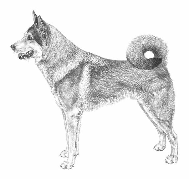 Нарисовать рисунок собаки лайки