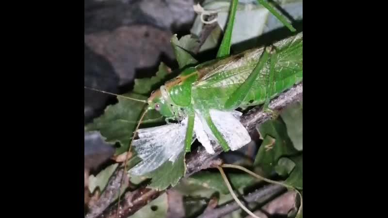 Самка зелёного кузнечика ест капустницу Ускоренная съёмка
