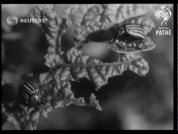 Colorado Beetle invades German crops (1946)