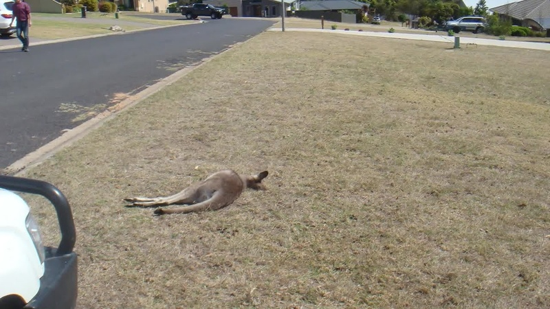 Kangaroos killed in apparent hit-and-run spree