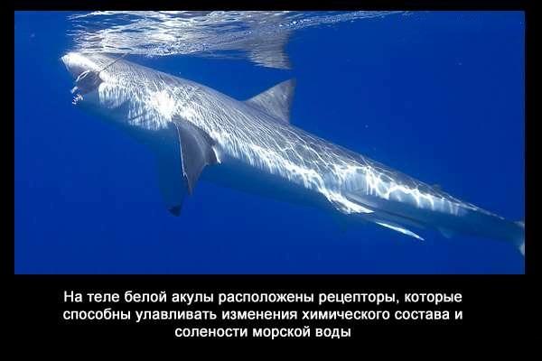 валтея - Интересные факты о акулах / Хищники морей.(Видео. Фото) Y3u9MhsczD8