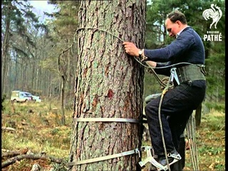 Out Takes / Cuts From Cp 323 - Reel 2 Of 2 - Tree Climbing Equipment Aka Tree Bike (1961)
