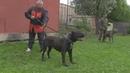 Питбульмастиф, волкособ, булли кутта каких собак бояться