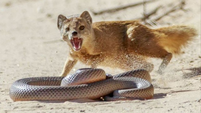МАНГУСТ В ДЕЛЕ Маленький УБИЙЦА змей Мангуст против кобры львов собак Факты о мангусте