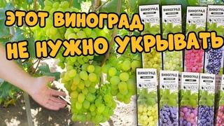 Эти сорта винограда не нужно обрезать и укрывать. Топ зимостойких сортов.