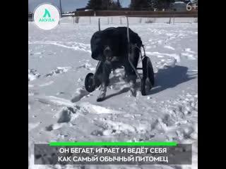 Пёс который не умеет ходить   АКУЛА