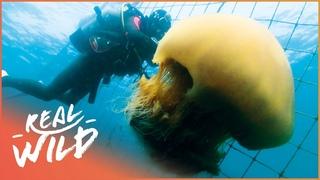 Giant Dangerous Jellyfish Attacking Japan | Monster Jellyfish | Real Wild