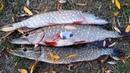 Снова колебалка спасает рыбалку! Ловля щуки в октябре