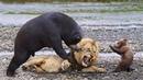 Đừng tưởng nhỏ mà ăn hiếp kẻ thù bị Gẫu mẹ thật vĩ đại trừng trị tơi bời - Sức mạnh loài Gấu