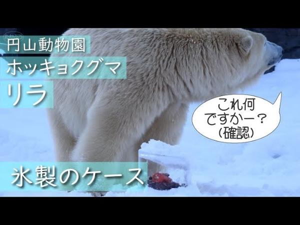 ホッキョクグマ 豪華ケースつきごはん Polar bear Lila's lunch in ice case  円山動物園 ホッキョクグマ リラ