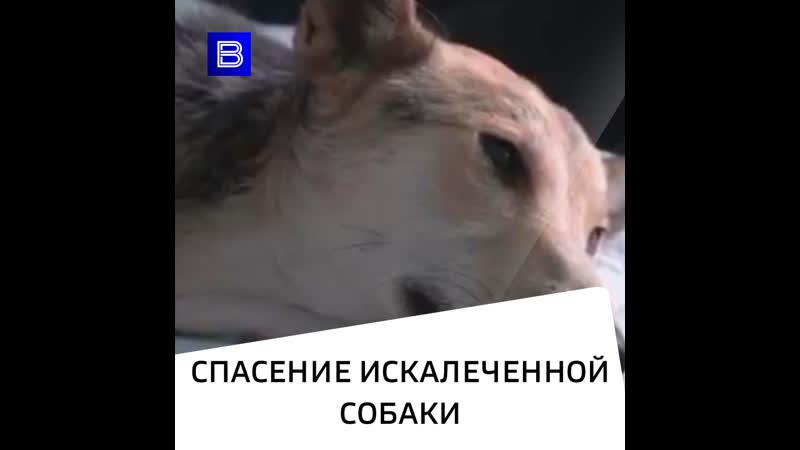 Спасение искалеченной собаки