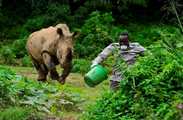 Работник центра по охране дикой природы Уганды убегает от разъяренного носорога