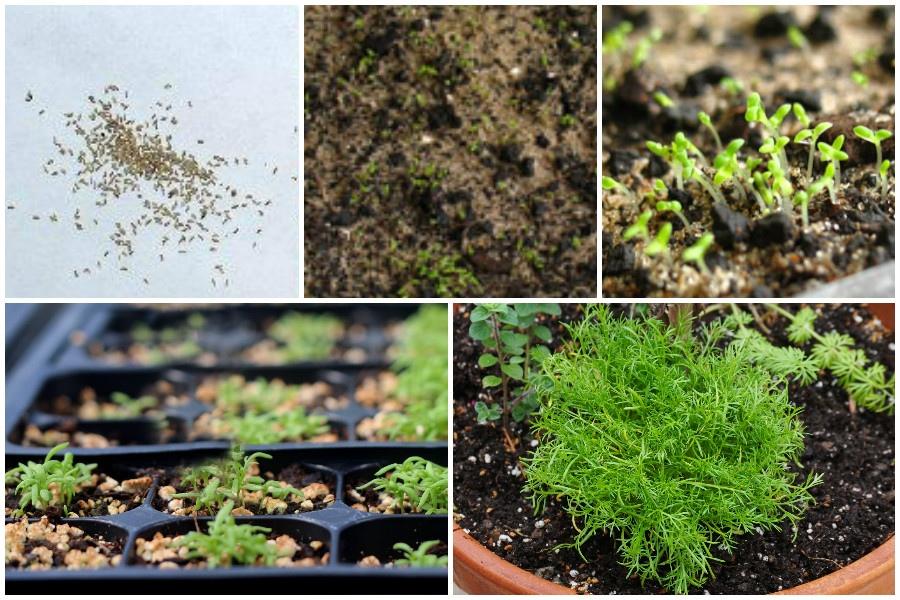 Выращивание ромашки аптечной