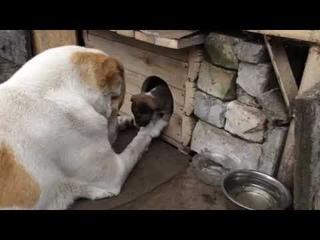 #Алабай#Alabai# купили щенка, а вырос медведь) Самое доброе домашнее животное! Каменское