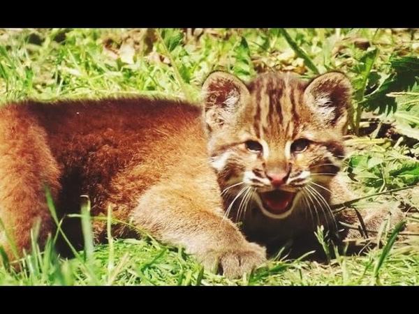 Люди подкармливали дикого лесного котёнка а он вырос до 1 5 метров и спас жизнь их дочери