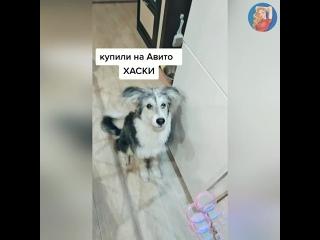 Купили на АВИТО Хаски