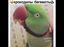 Поющий попуган