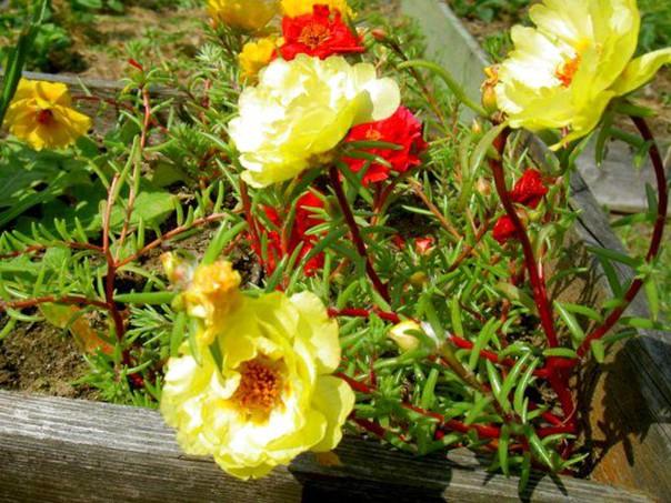 Портулак Декоративный – роскошный цветущий ковер для вашего сада и клумб, изображение №2