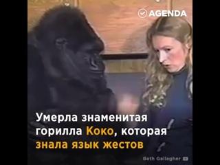 В США умерла «говорящая» горилла Коко