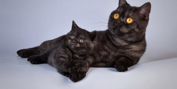 Продам шотландского прямоухого котенка мальчик, ды...