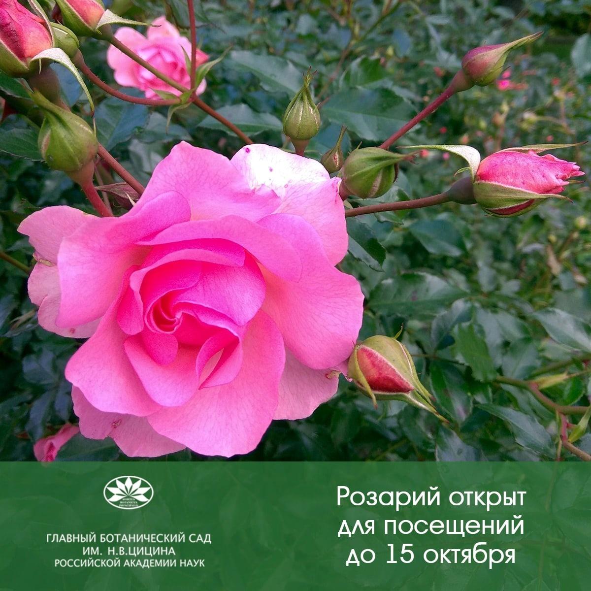"""Экспозиция """"Розарий"""" работает в текущем сезоне до 15 октября с 11."""