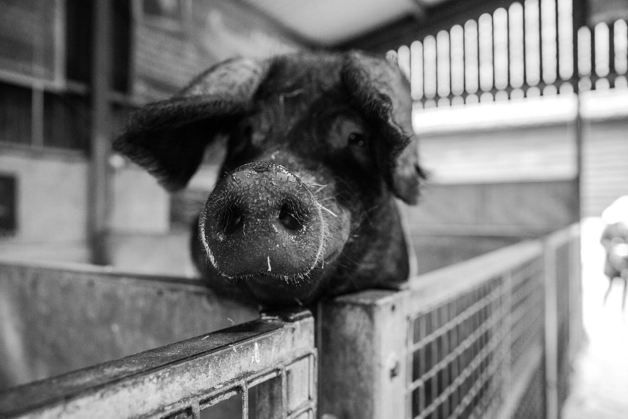 В одном из районов Марий Эл вспышка африканской чумы свиней