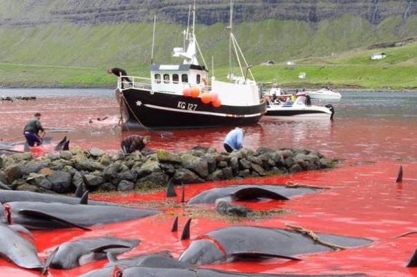 Слабонервным не смотреть! 😱1428 особей дельфинов за пару ...