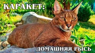 КАРАКЕТ: Гибрид каракала с обычной кошкой - самая дорогая порода кошек | Интересные факты про кошек
