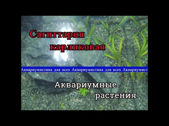 Сагиттария Карликовая Sagittaria subulata или Стрелолист