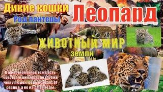 Животный мир земли. Дикие кошки. Род пантеры. Леопард (Leopard)