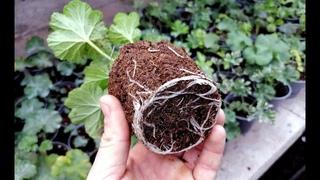 Вот почему у вас не укореняются черенки пеларгонии, петунии, хризантемы! ГЛАВНЫЕ ПРОБЛЕМЫ.